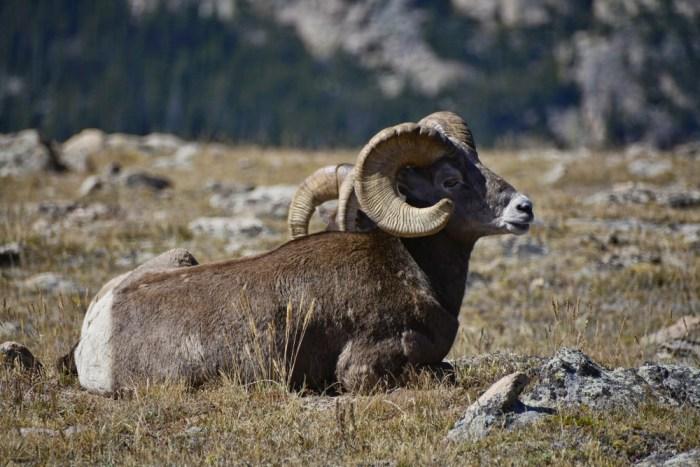 bighorn sheep (1)