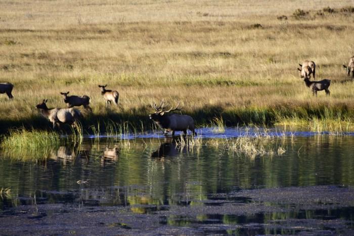 elk (2)