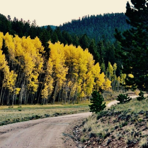 Driving down a Colorado dirt road in fall to view the aspen leaves changing colors.