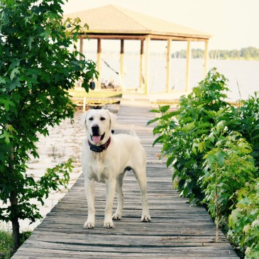 A yellow lab stands on a boat dock with green trees next to him and the lake behind him just waiting for us to walk his way.