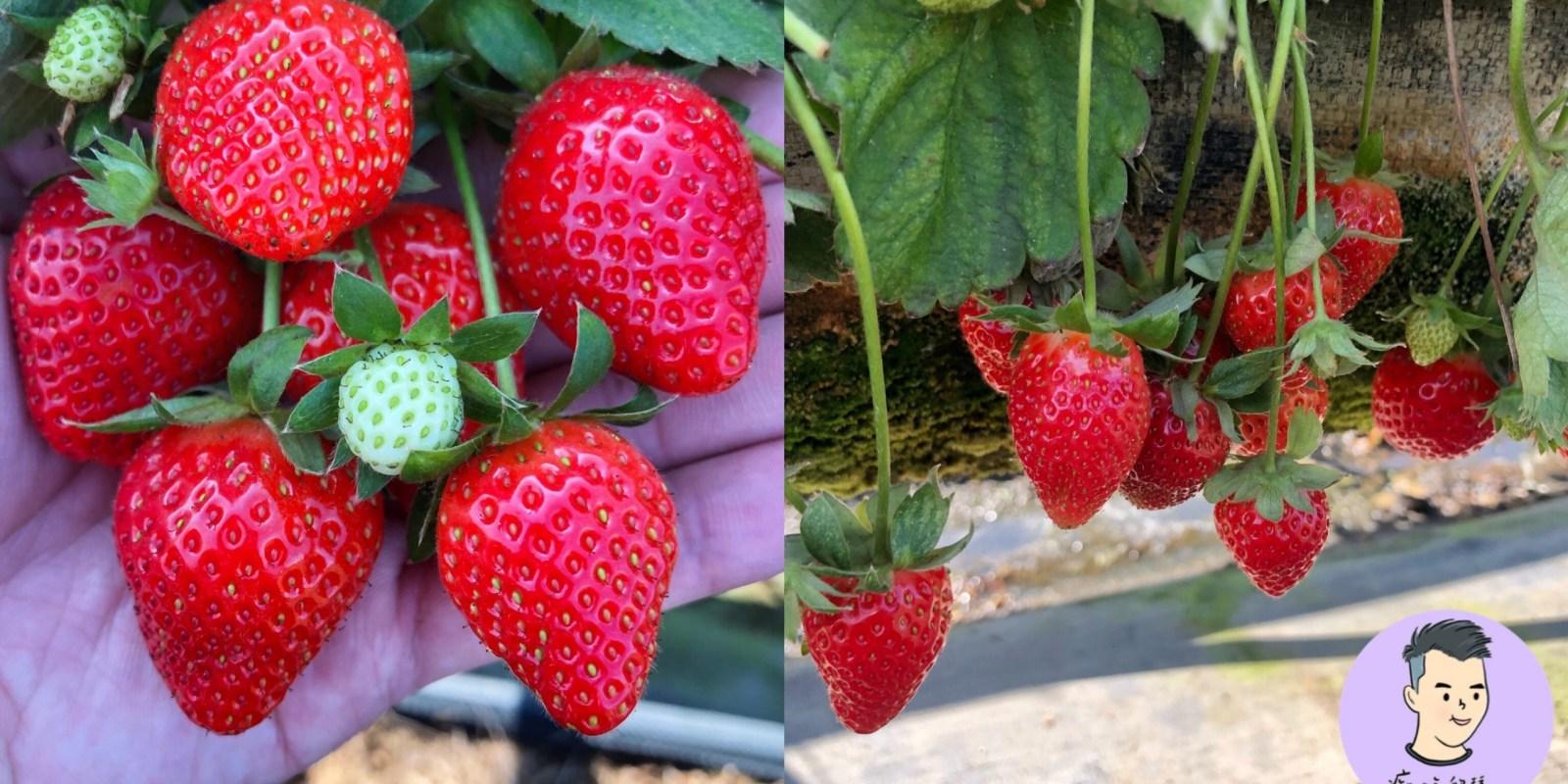 【台南採草莓】美裕草莓園 DIY採草莓入園免門票!! 親子旅遊好去處 還有賣草莓香腸/冷凍草莓 美裕高架草莓園