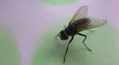 one of the last surviving houseflies