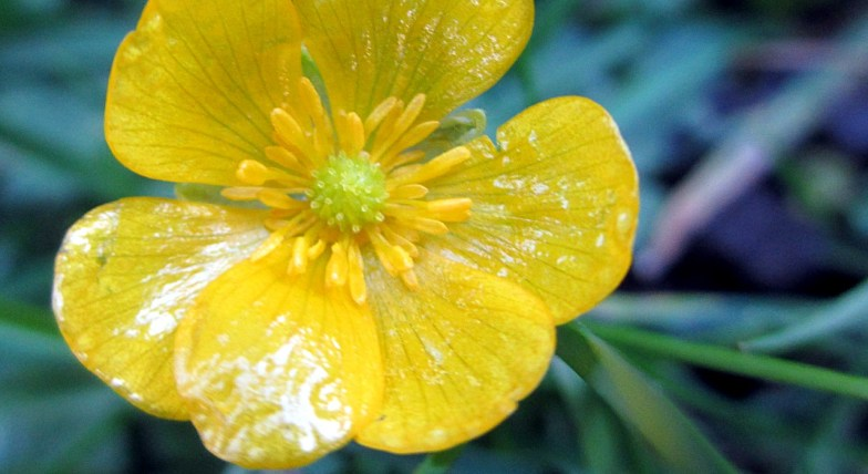 a buttercup in january