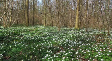 a lot of wood anemone ...