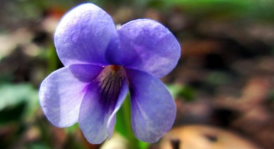 Wood violet ... Viola odorata ...