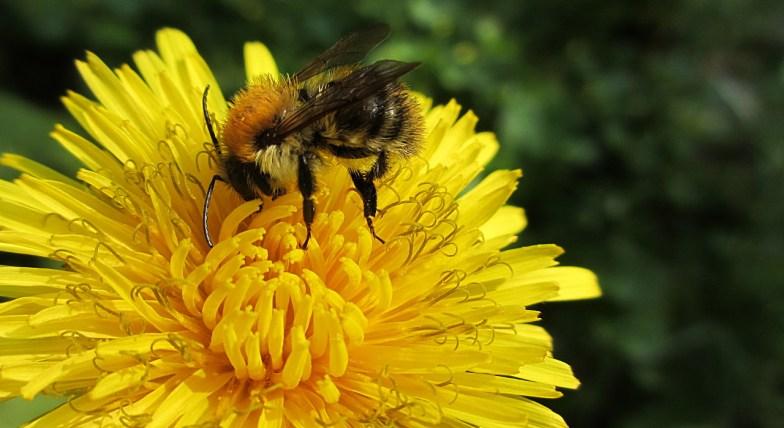.. dandelion and bumblebee ..