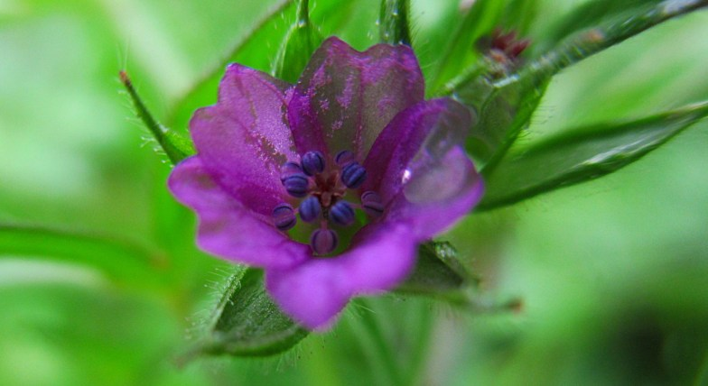 .. the tiniest flowers of geranium dissectum .. (click to enlarge)