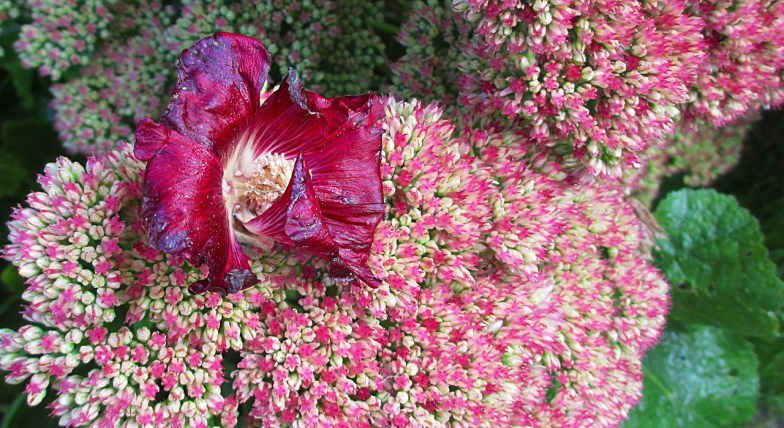 .. hibiscus floating on hylotelephium spectabile .. (click to enlarge)
