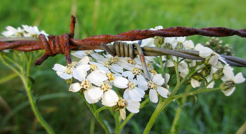 yarrow's beauty cannot be contained (click to enlarge ..)