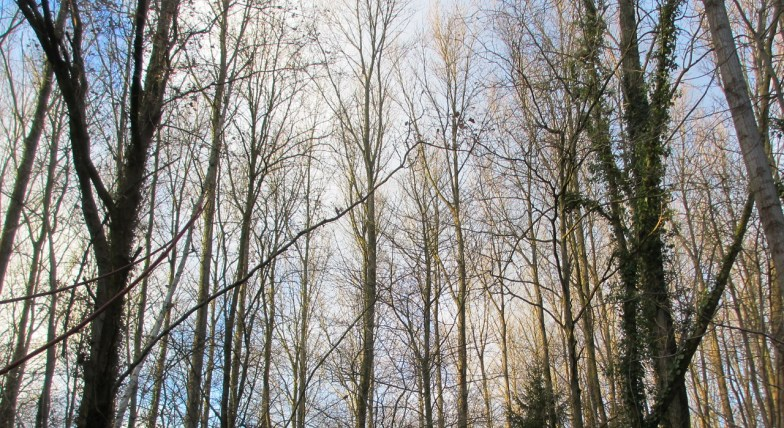 poplars in winter .. (click to enlarge ..)