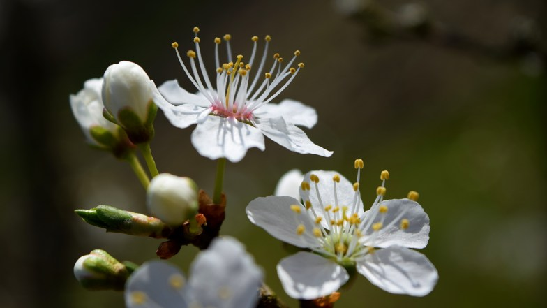 blooming plum tree ... (click to enlarge ..)