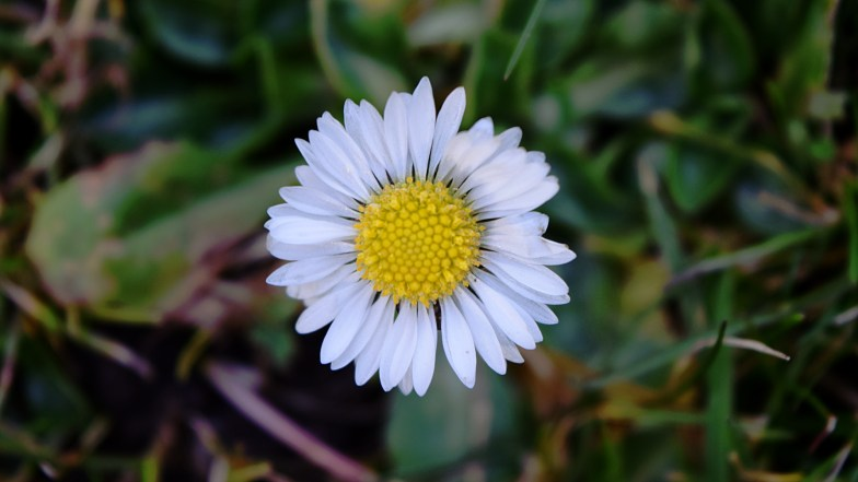 daisy ... waiting for more sun ..(click to enlarge ..)