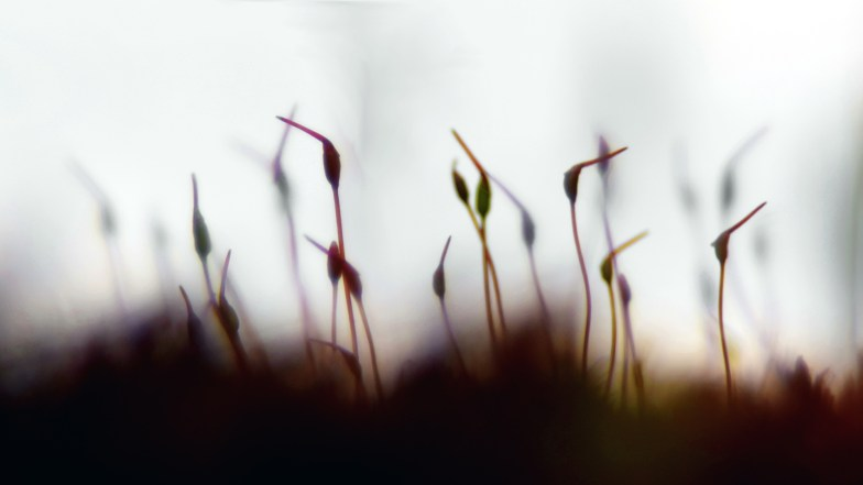 moss sporophytes imagine being a bird ... (click to enlarge ..)