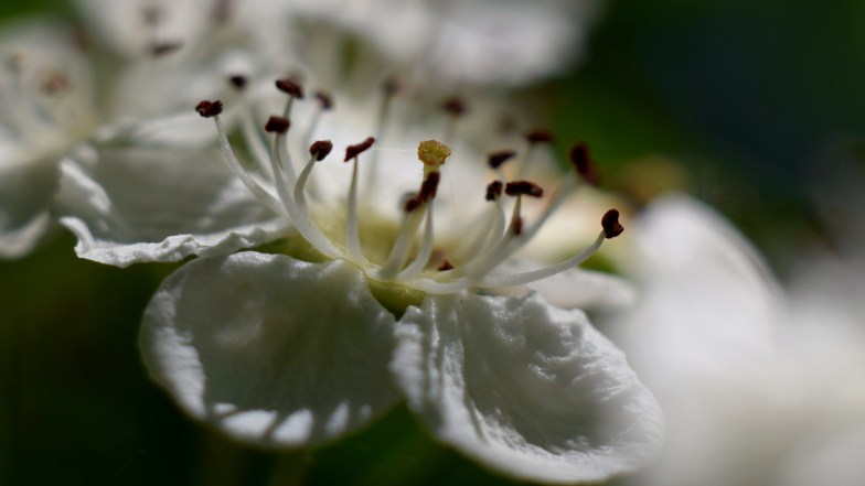 hawthorn flower .. (click to enlarge ..)