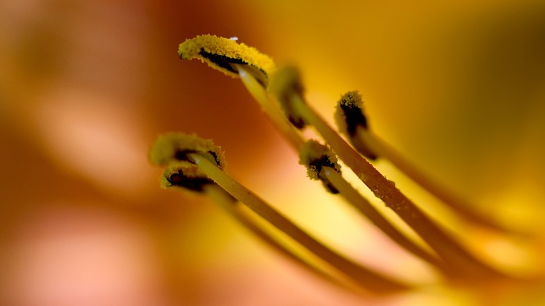 Orange Lily stamens and anthers full of pollen .. (click to enlarge ..)