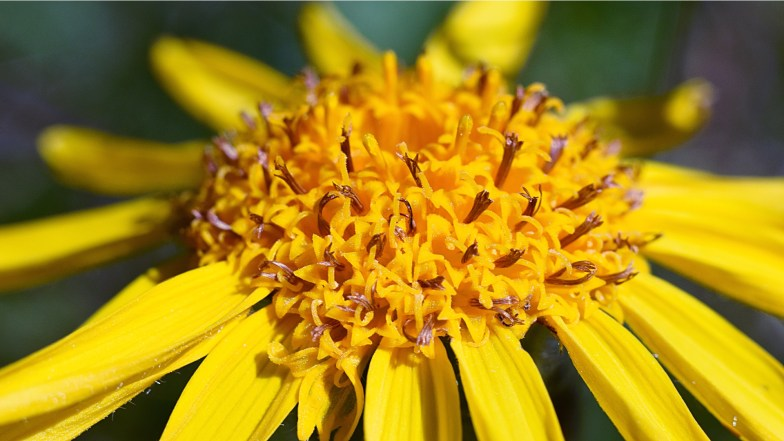 mountain arnica, family of sunflower .. (click to enlarge ..)