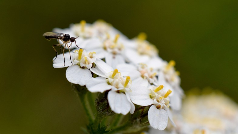mosquito sized fly resting on yarrow .. (click to enlarge ..)
