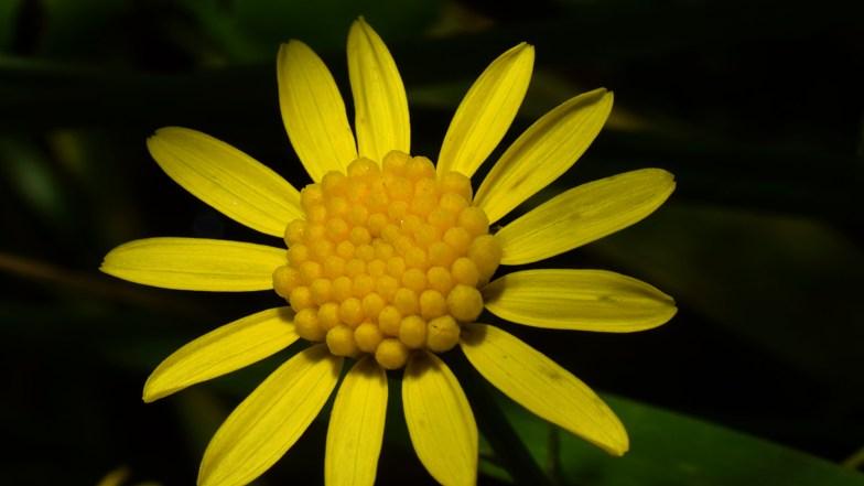 Chrysanthemoides Monilifera .. (click to enlarge ..)