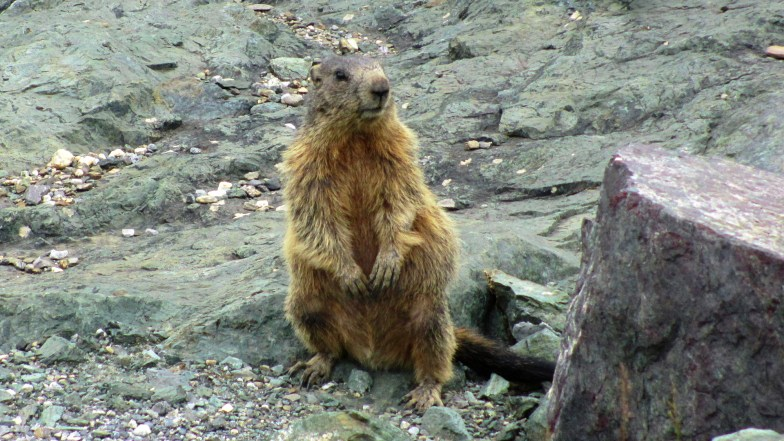 curious marmot .. (click to enlarge ..)