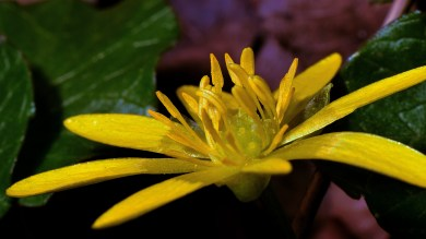celandine (click to enlarge ..)