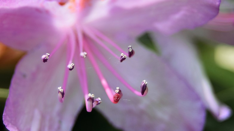 rhododendron showing pistil and stamens .. (click to enlarge ..)