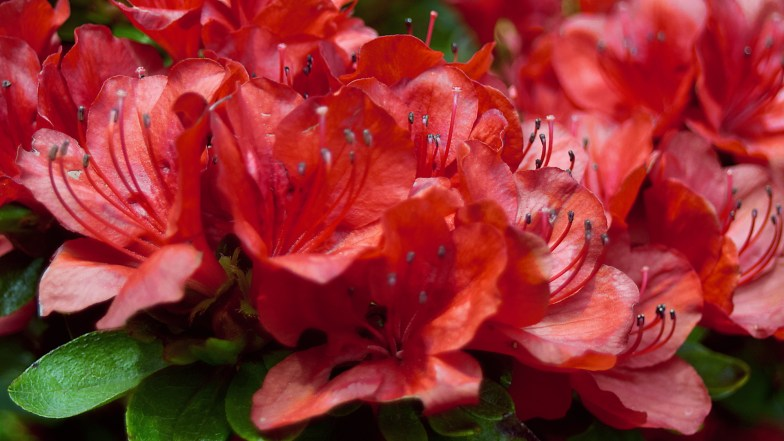 group of azalea flowers .. (click to enlarge ..)