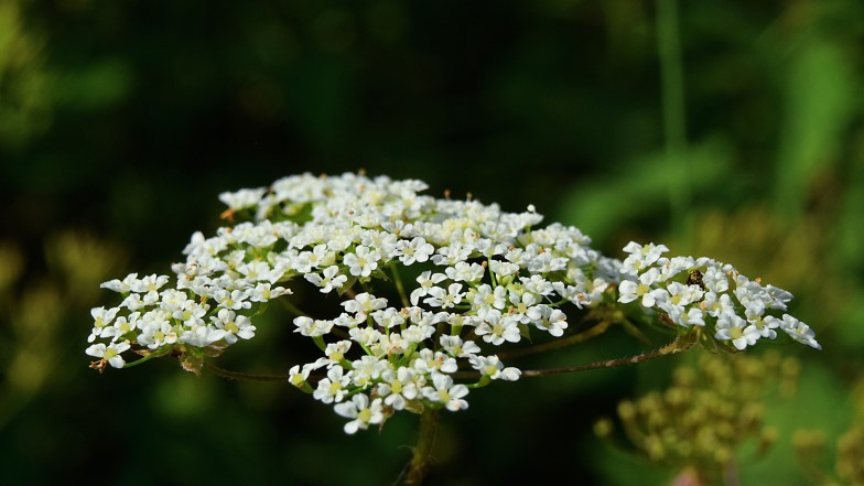 garden chervil ..(click to enlarge ..)