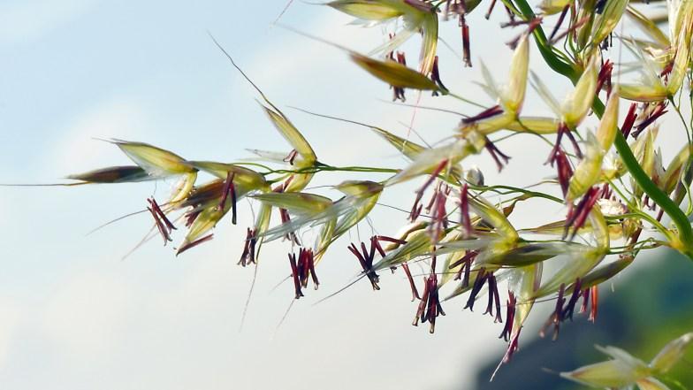 false oat-grass .. (click to enlarge ..)
