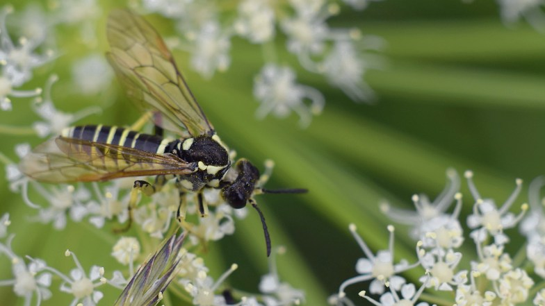 alpine sawfly ... (click to enlarge ..)