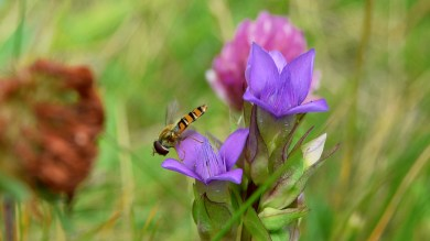 hover-fly and field gentian .. 2 (click to enlarge ..)