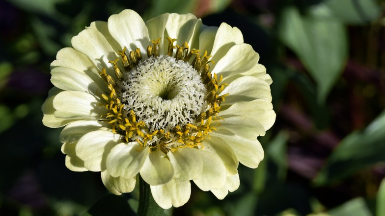 white zinnia .. (click to enlarge ..)