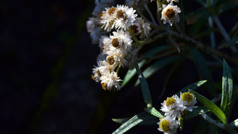 Pearly Everlasting      (... click to enlarge)