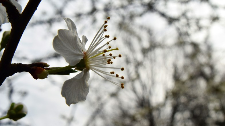 plum is blooming, inspiring ... (click to enlarge ..)