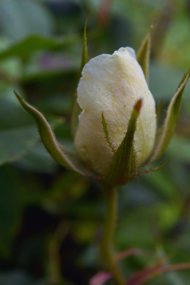 white rose ... (click to enlarge ..)