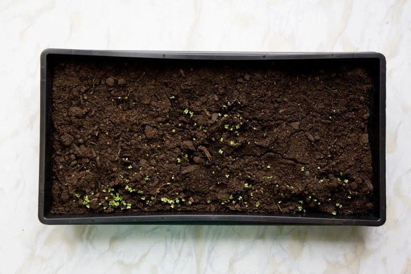 A black flat filled with potting soil shows microgreens starting to sprout.