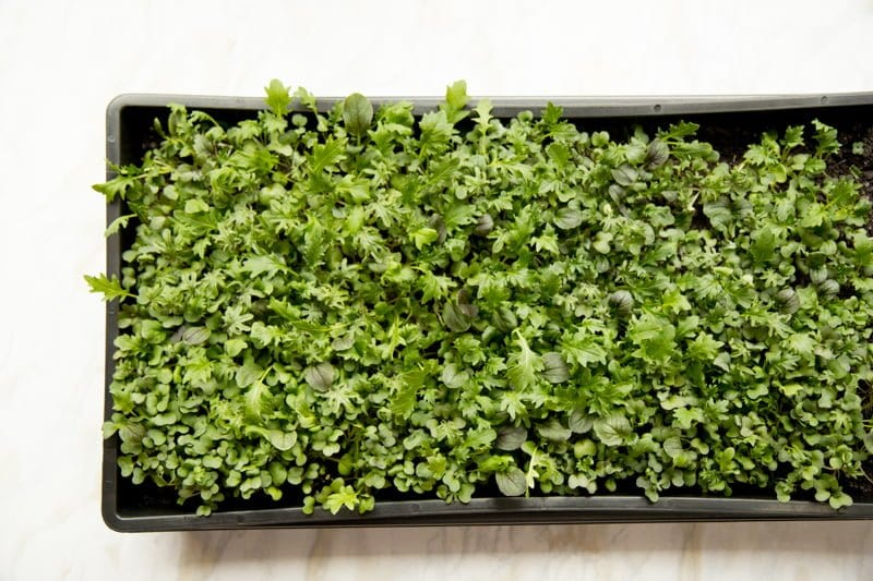 Mature microgreens in a flat of dirt.