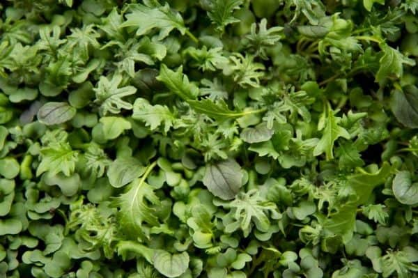 A closeup shot of microgreens