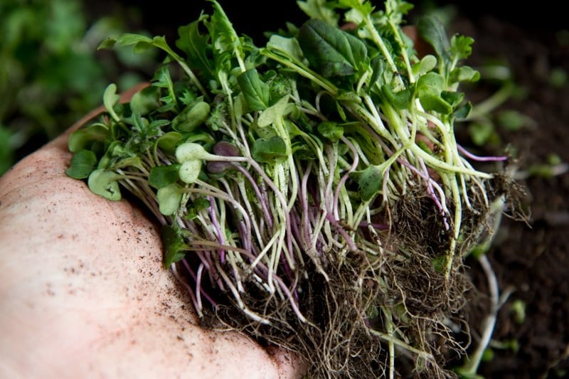 A hand holds mature microgreens, with their roots still attached.