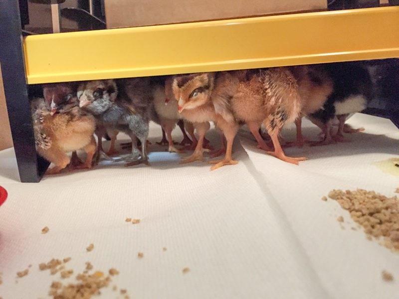 Brooder Chicks