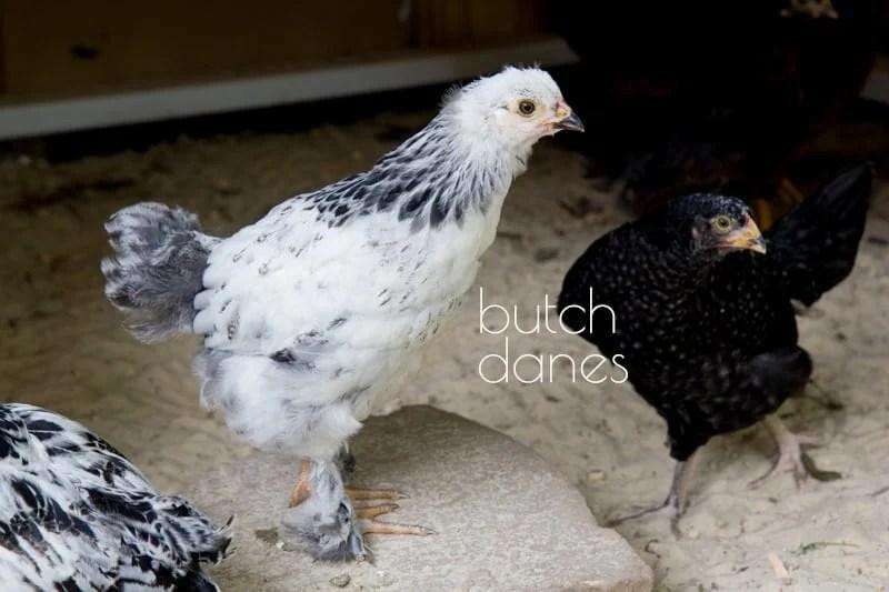 Butch Danes