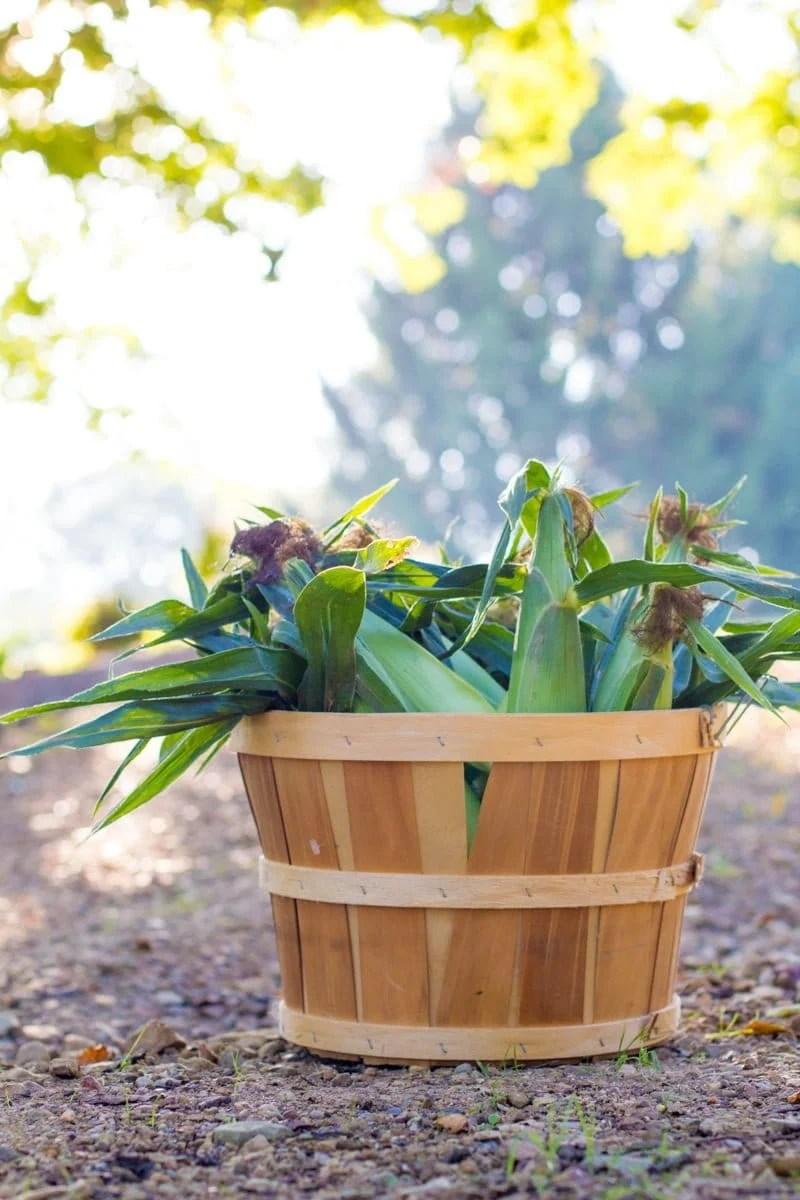 Fresh picked corn in a wooden basket outside.