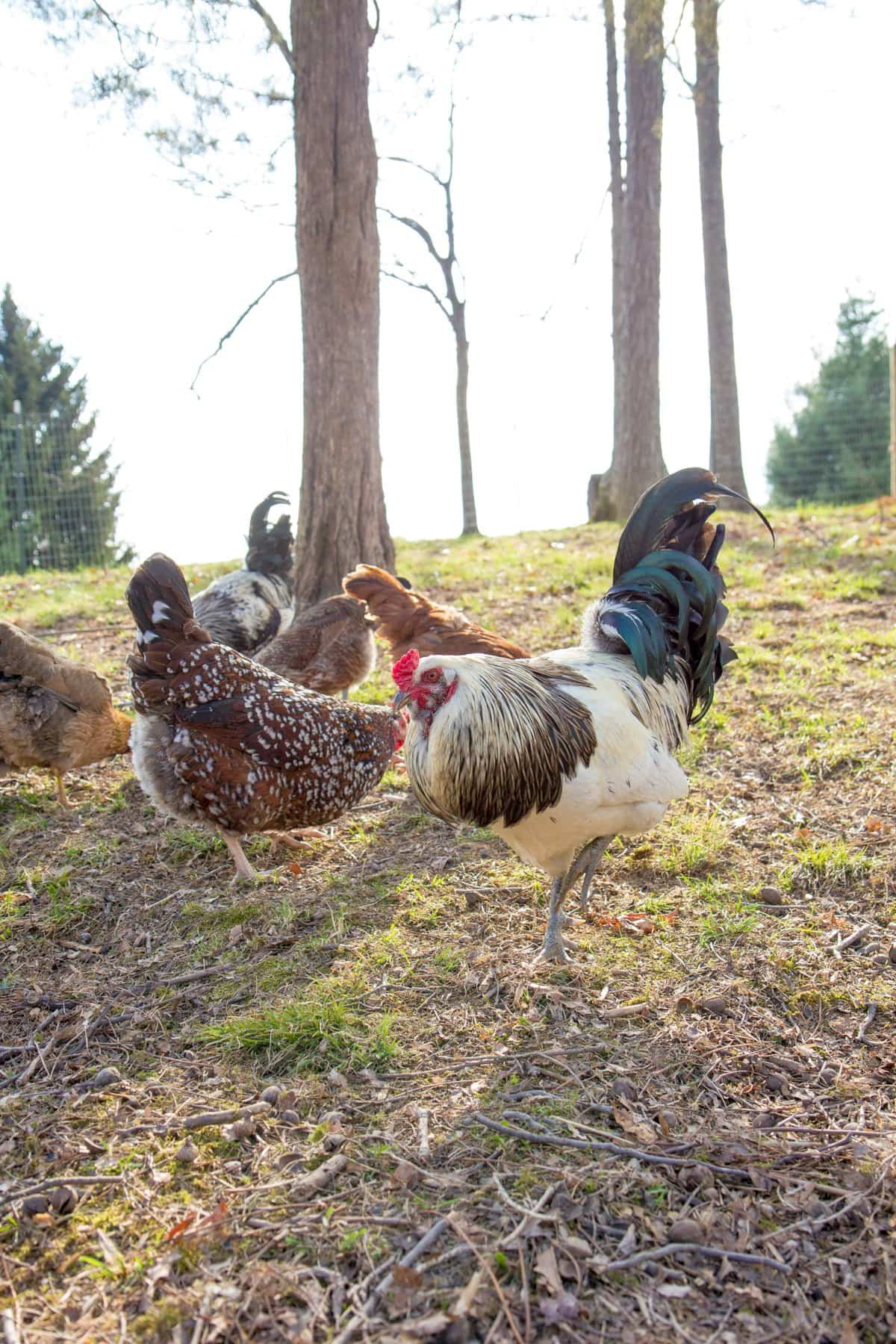 10 Things I Ve Learned In My First Year Of Having Backyard Chickens Wholefully