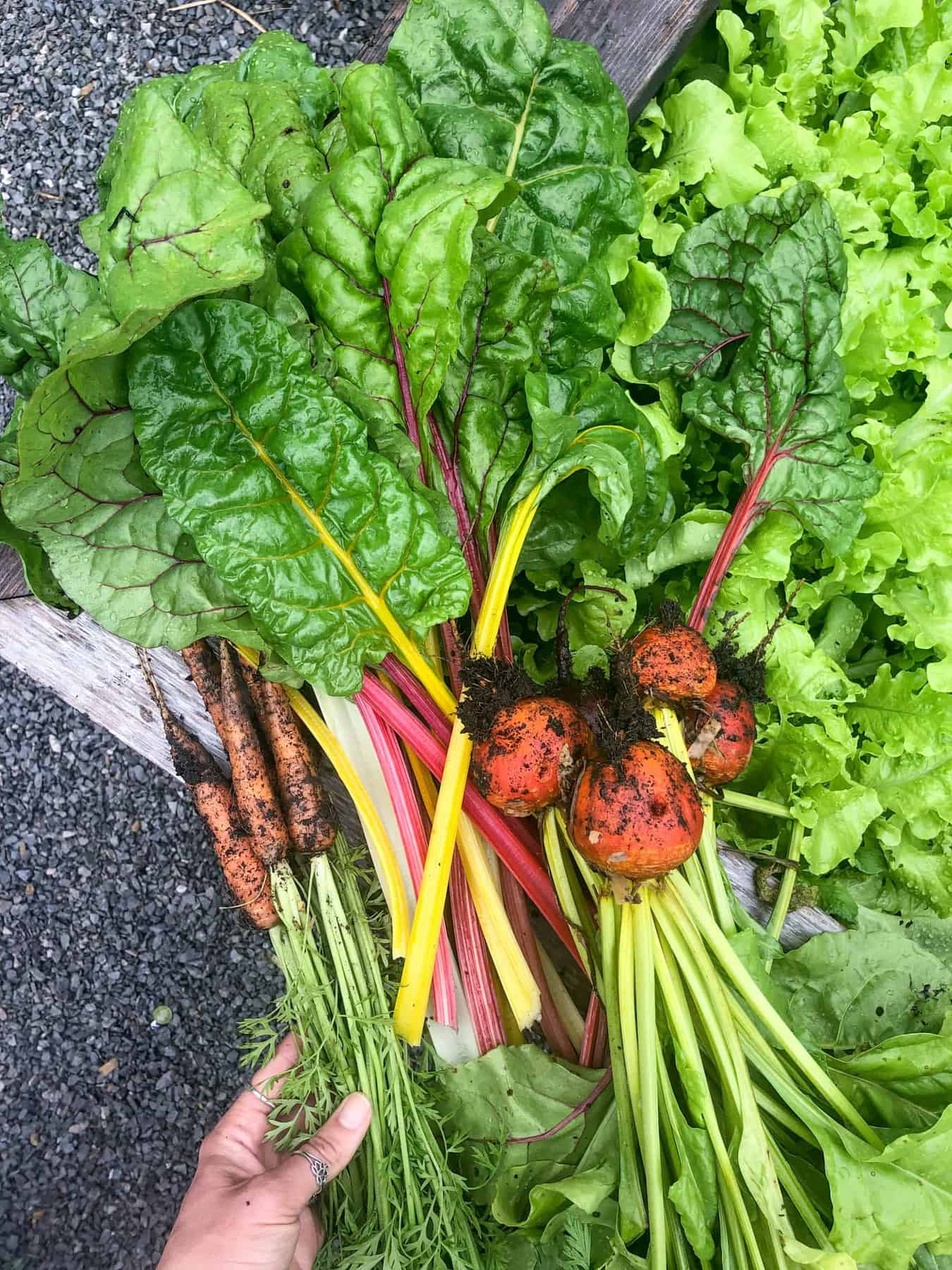 Beets, carrots, and Swiss chard are stacked together in a garden. Dirt still clings to the vegetables.