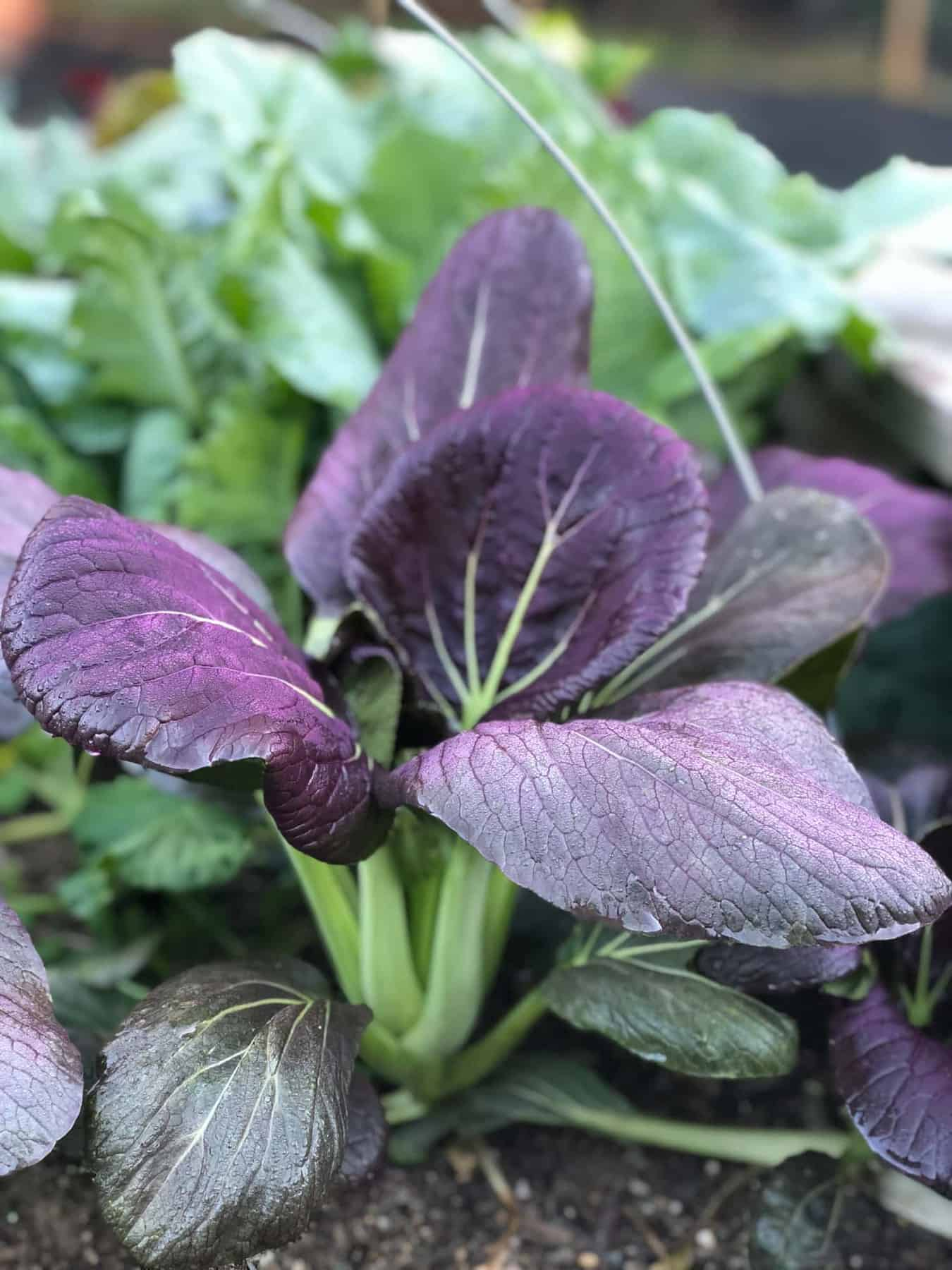 Close up of a purple and green pac choi plant.