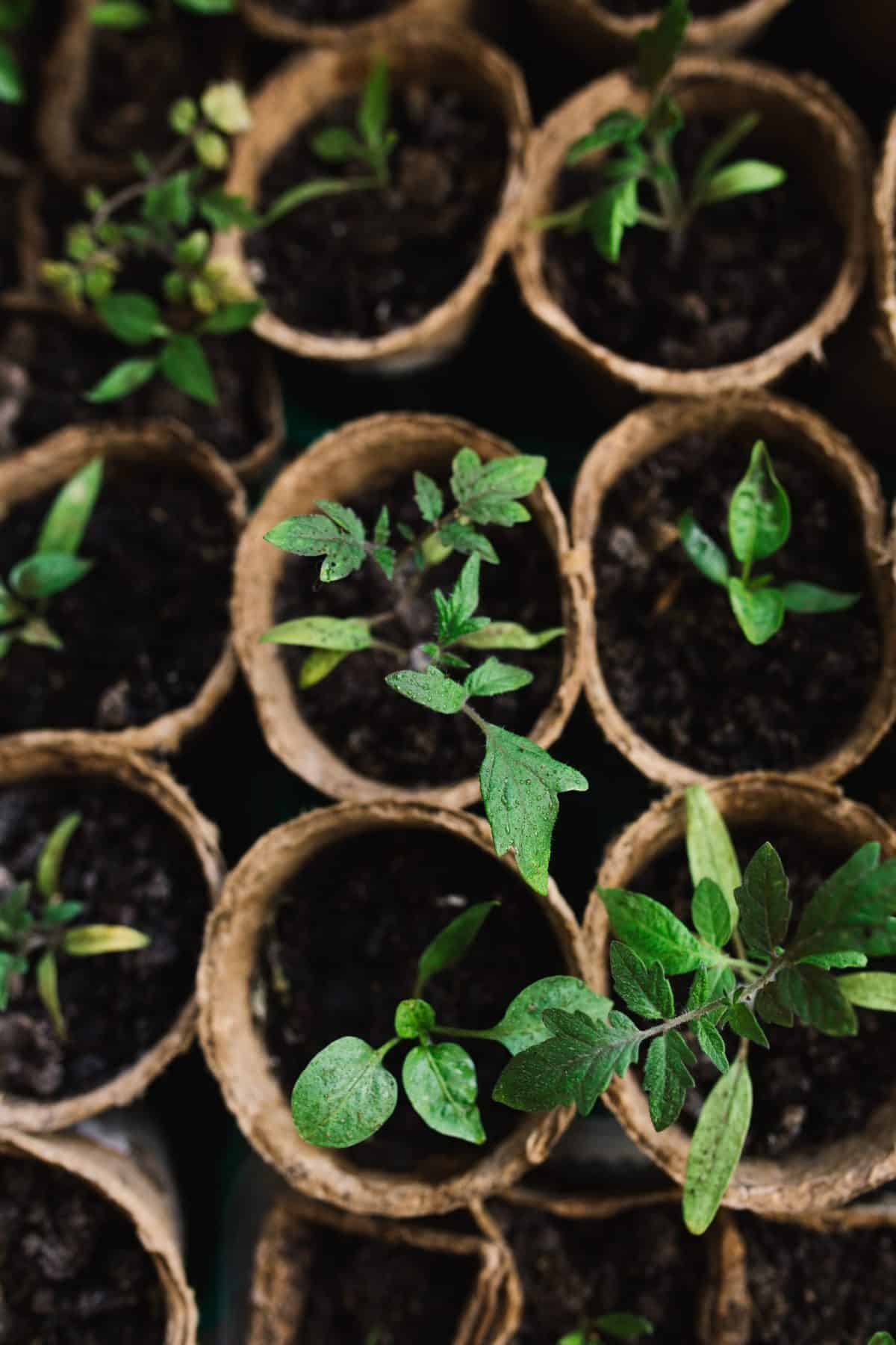 Plant starters sit in small peat pots.