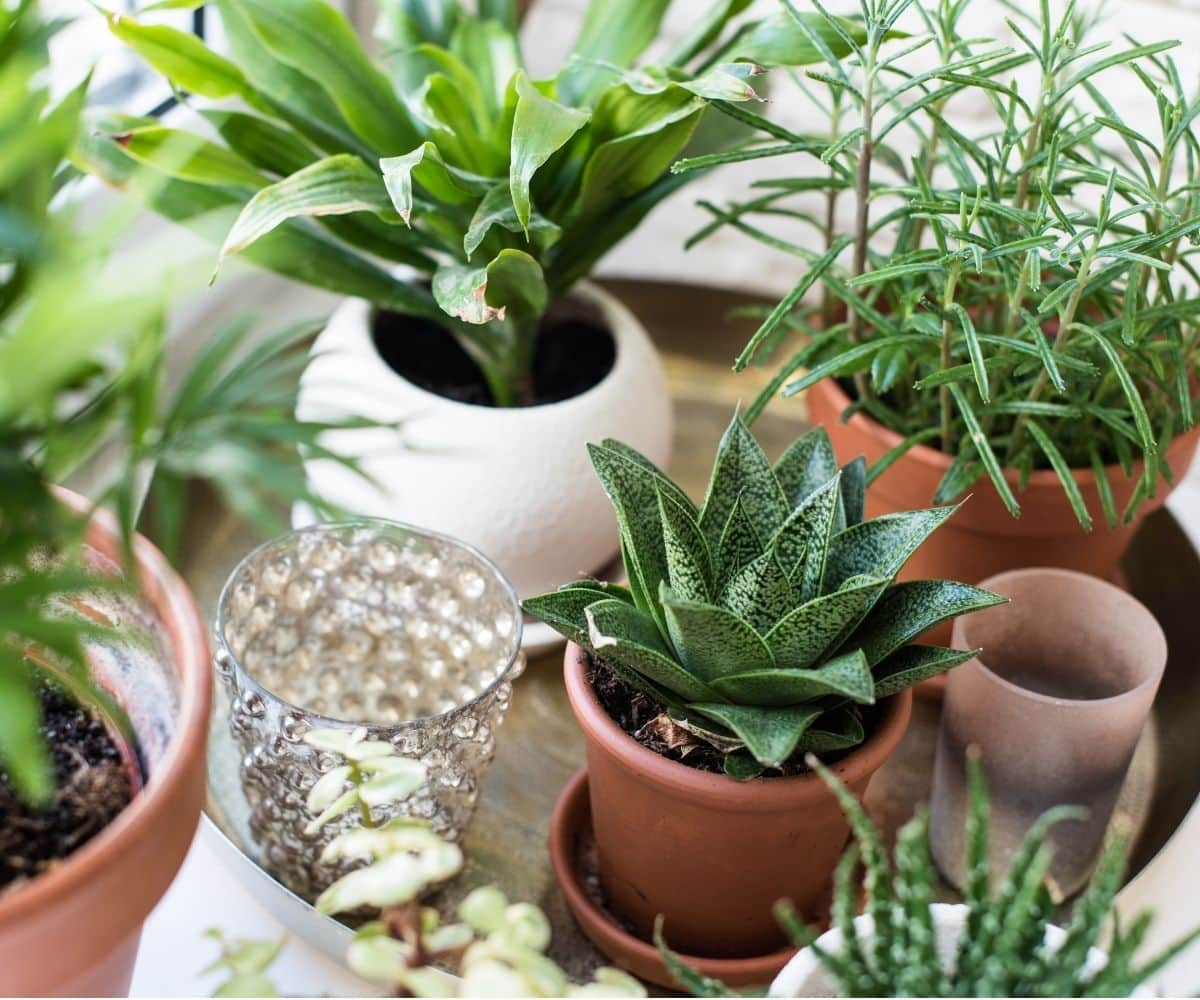 Close up of small, potted houseplants on a tray.