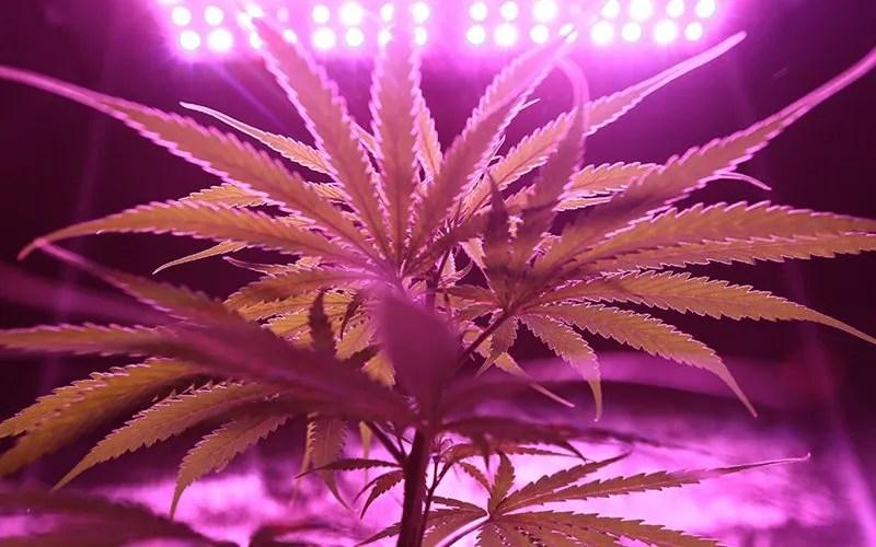 thc vs cbd difference plant