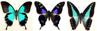 Australian And Asian Butterfly And Moth Museum Insect Displays