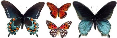 North American Butterflies and Moths