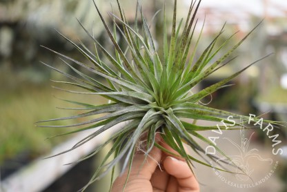 Tillandsia Houston compact green
